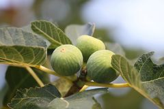 Figs - ficus carica Royalty Free Stock Image