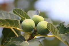 Figs - Ficus Carica