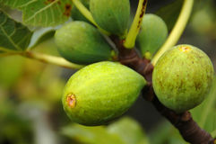Figs on a fig tree in the Azores Stock Photo