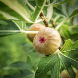 Figs on the fig tree. Royalty Free Stock Image