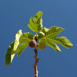 Figs. On the fig tree and leaves royalty free stock image