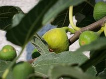 Figs fruit Stock Photography