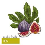Figs, fruits with leaves. Exotic fruits, hand drawn vector illustration, colored sketch Royalty Free Stock Image
