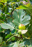 Figs fruits on a tree Stock Image
