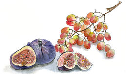 Figs and grapes, watercolor sketch hand draw on white background Royalty Free Stock Photography
