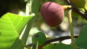 Figs on green fig tree stock footage