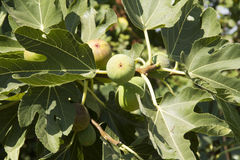Figs growing. Stock Photo