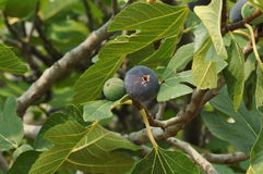 Figs growing on tree Stock Photography