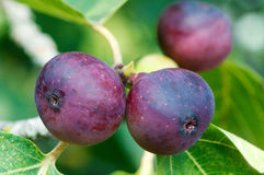 Figs. Growing on a tree Stock Photos