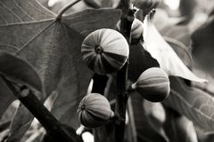 Figs growing on a tree in black and white stock images