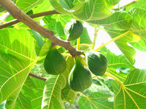 Figs, growing on a tree branch. So grows the Fig tree in the tropical forest Stock Photo