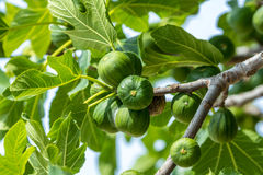 Figs growing on a tree. Figs ripening on a fig tree stock image
