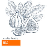 Figs. Hand drawn vector illustration Royalty Free Stock Photography