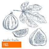 Figs. Hand drawn vector illustration Stock Photos