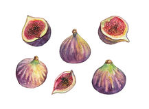 Figs. A hand-drawn watercolor illustration of figs, half figs and cut figs Royalty Free Stock Photography
