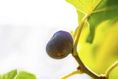 Figs hanging in vine royalty free stock photos