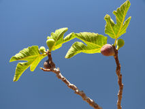 Figs - horizontal. Figs on the fig tree and leaves stock images