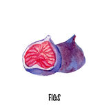 Figs illustration. Hand drawn watercolor on white background. Stock Image