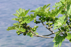 Figs at the lake. A tree at the Largo di Garda, Italy royalty free stock photography