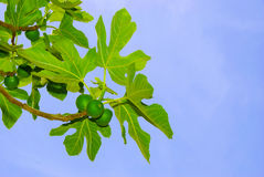 Figs and leaves on blue sky. Blue sky, green figs and leaves Royalty Free Stock Image