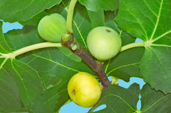 Figs ripen on the tree fruit Royalty Free Stock Image