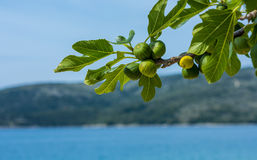 Figs ripening on the branch Stock Images