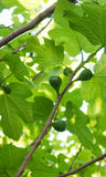 Figs ripening on a fig tree in the spring in eastern part of Portugal Stock Photos