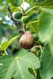 Figs Stock Photos