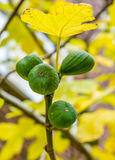 Figs ripening on a yellow leafed fig tree Stock Photography