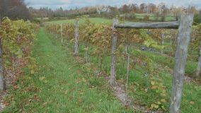 Figs sprouting in a vineyard (1 of 4). A view or scene of a Vineyard stock video
