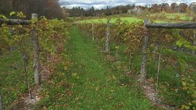 Figs sprouting in a vineyard (4 of 4) stock footage