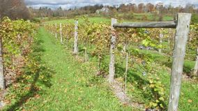 Figs sprouting in a vineyard (3 of 4) stock footage