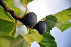 Figs on a tree Stock Photography