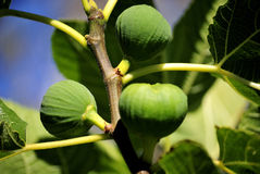 Figs in the tree Stock Images
