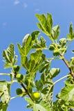Figs on tree Stock Photo