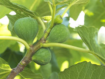 Figs on the tree Stock Photography