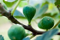 Figs on a tree. A branch of a fig tree with some green figs stock photos
