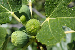Figs on tree. After rain macro Stock Photo