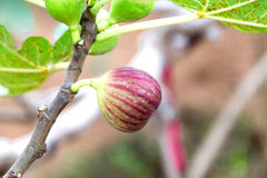 Figs on tree branch Stock Photos