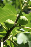 Figs on tree Royalty Free Stock Photography