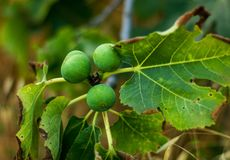 Figs tree Royalty Free Stock Image