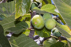 Figs. On the tree, leaves Royalty Free Stock Photo