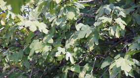 Figs tree leaves in sunlight. Fig tree leaves in sunny in farm stock footage