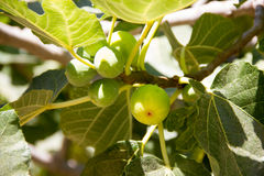 Figs tree Royalty Free Stock Photos