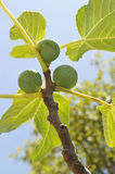 Figs on the tree in Toscany Royalty Free Stock Photo