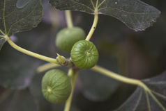 The Figs Royalty Free Stock Photos