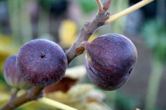 Figs on the Vine. Fig close-up stock photography