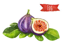 Figs, watercolor illustration,  clipping path included Royalty Free Stock Photography
