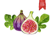 Figs, watercolor illustration,   clipping path included Stock Image
