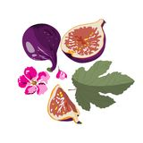 Figs on a white background. Vector. Print design on fabric, paper, ceramics Stock Photography